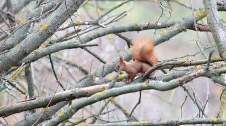 sciuridae : Squirrel sits on a leafless branch and looks like then then runs away (Sciurus) Stock Footage
