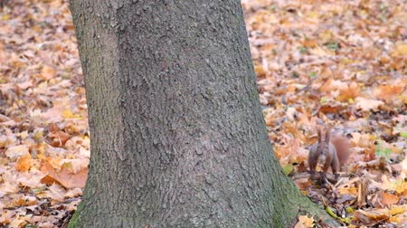 sciurus vulgaris : Suddenly a squirrel came out from behind the tree and ran away (Sciurus vulgaris) Stock Footage