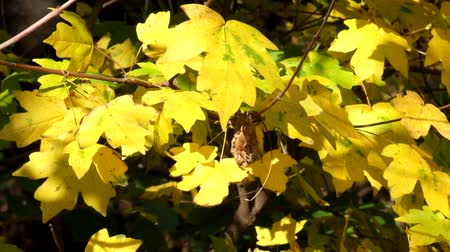 acer : Yellow leaves of field maple rustle in the wind and the last hoverfly flies flying from leaf to leaf (Acer campestre)