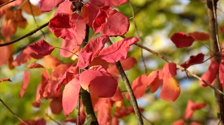 покрытосеменных : Red leaves of the smoke tree fluttered in the wind, illuminated by the rays of the autumn sun (Cotinus coggygria) Стоковые видеозаписи