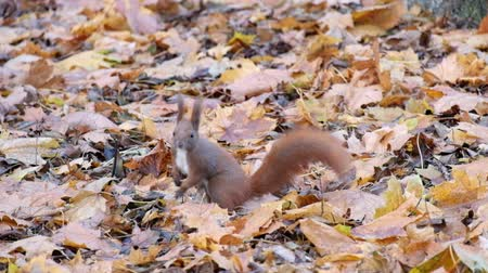 sciuridae : Red squirrel is looking for something in the dry fallen leaves of the autumn forest (Sciurus vulgaris)