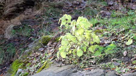 angiospermas : Bush of deaf nettle swayed slightly from the wind (Lamium album)