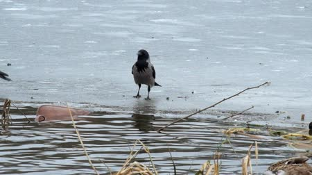 crows feet : Hooded crow jumping on the ice of a frozen river and want something to steal from ducks (Corvus cornix)