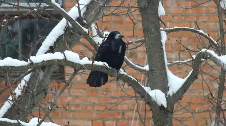 corvus frugilegus : Rook sits on a branch during a snowfall and is indignant (Corvus frugilegus)