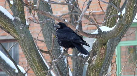 Rook meditating on leafless branch and looking around (Corvus frugilegus)