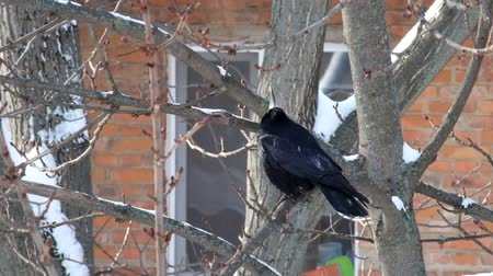 Rook sits on a branch and looks upwards with his head up (Corvus frugilegus) Dostupné videozáznamy