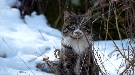 Striped cat sitting among dry grass and snow