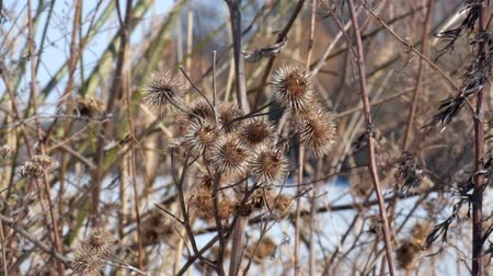 Wind rocking the dry spells of greater burdock (Arctium lappa)
