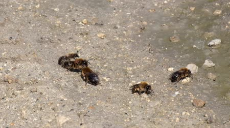 European dark bees collect moisture from the ground (Apis mellifera mellifera) Dostupné videozáznamy