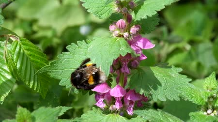 angiospermas : Large bumblebee cleans its paws after collecting pollen on the flowers of dead nettles (Bombus)