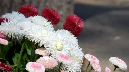 Light wind sways the multicolored english daisies (Bellis perennis)