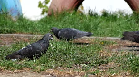 Pigeons graze on young green grass (Columba livia)