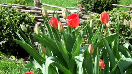 angiospermas : Red tulips gently swing from the wind (Tulipa) Stock Footage