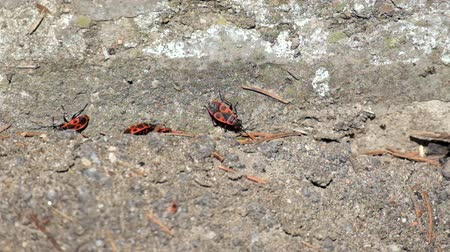 Several firebugs crawl on a concrete surface (Pyrrhocoris apterus)