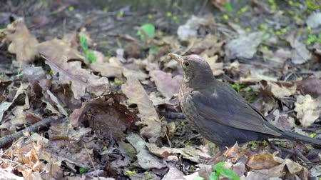 turdus merula : Song thrush closely followed the developments around (Turdus philomelos)