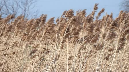 Strong wind shakes the high dry grass