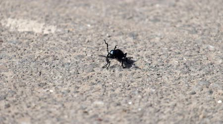 Young violet oil beetle sits on the asphalt and moves antennae (Meloe violaceus)