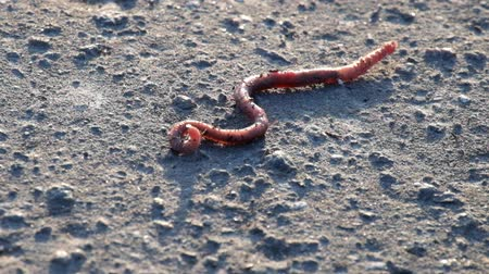 Common European earthworm slowly crawls on the ground (Lumbricus terrestris)