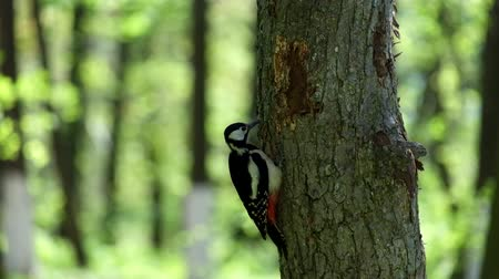 picidae : Great spotted woodpecker extracts the larvae of beetles from the trunk of a tree (Dendrocopos major)