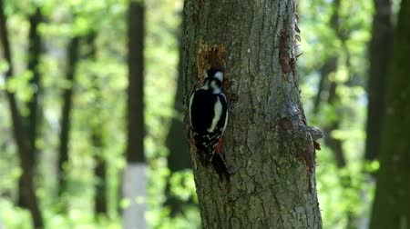 dendrocopos major : Great spotted woodpecker extracts the larvae of beetles from the trunk of a tree (Dendrocopos major)