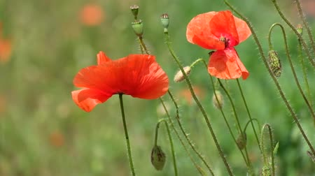 angiospermas : Red poppy flutters in the wind. Buds, flowers and capsule of field poppy (Papaver rhoeas) Stock Footage