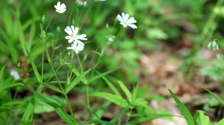 White forest flowers of greater stitchwort rustling in the wind (Stellaria holostea) Vídeos