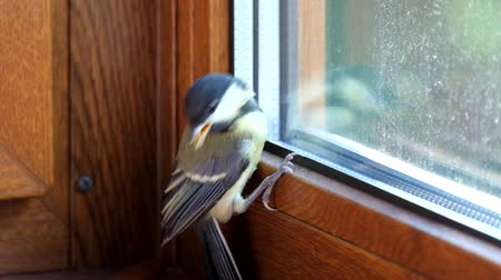 Young titmouse flew into the room and does not know how to get free (Parus major) Стоковые видеозаписи