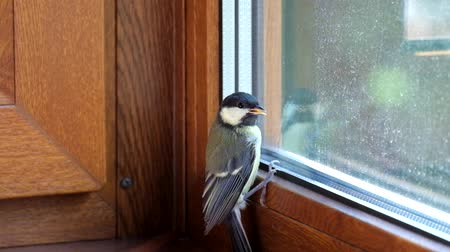 aves : Young titmouse flew into the room and does not know how to get free (Parus major) Stock Footage