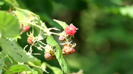 Berries of wild raspberries. Light breeze blowing (Rubus idaeus) Стоковые видеозаписи