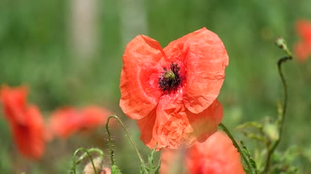 Brightly red common poppy flower. Red poppy flutters in the wind (Papaver rhoeas)