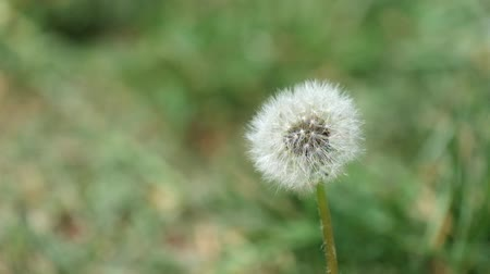 Faded dandelion trembles in the wind (Taraxacum officinale)