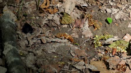 propagação : Two large black forest beetles during the breeding season. Two beetles try to hide from prying eyes (Carabus granulatus)
