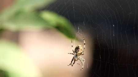 Crowned orb weaver sits in a web and does something (Araneus diadematus) Стоковые видеозаписи