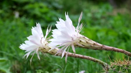покрытосеменных : Flowering Easter Lily Cactus. Large white cactus flowers. Strong wind (Echinopsis oxygona) Стоковые видеозаписи