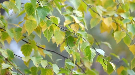 Birch foliage flutters in the wind Стоковые видеозаписи