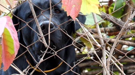 Black labrador sniffs out something