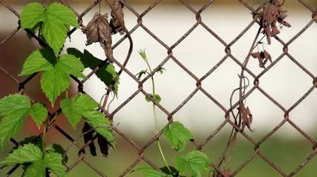 Common hop entwined in old rusty fence