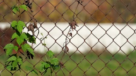 otsu : Common hop entwined in old rusty fence
