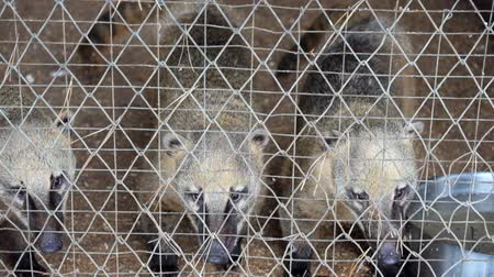 White-nosed coati behind bars