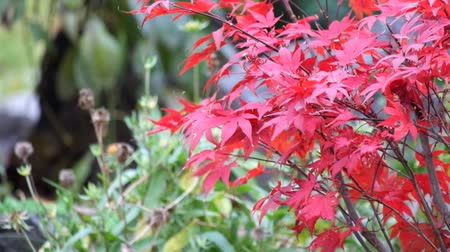 Foliage of Japanese maple tree