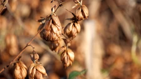 Golden dry hop cones trembling in the wind (Humulus lupulus)