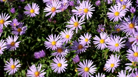 margarida : Purple New York aster. Daisy-like flowers with golden centers (Symphyotrichum novi-belgii)