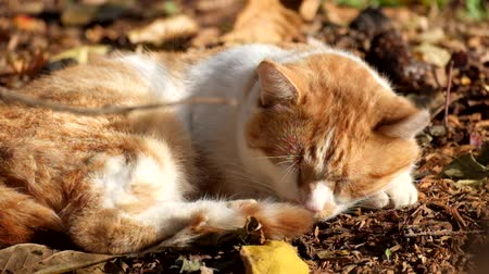 geçen : Red cat dozing on dry land