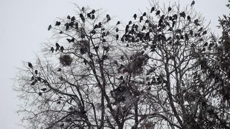 Flocks of Rooks are sitting on a tree during a snowfall (Corvus frugilegus)