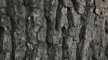 aphidoidea : black ants crawling on the bark of an oak