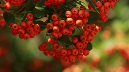 sorbus : fine red small berries of a mountain ash in the fall with green leaves