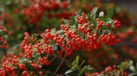 sorbus : the mountain ash with green leaves is much fresh autumn red