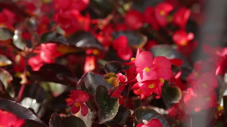 krzak : a bush of red colors is in focus and rasfokusirovke