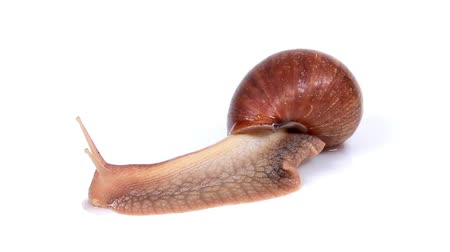 lerdo : Garden snail on white background. Macro.