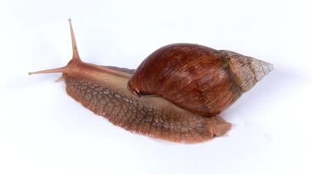slithering : Garden snail on white background. Macro.